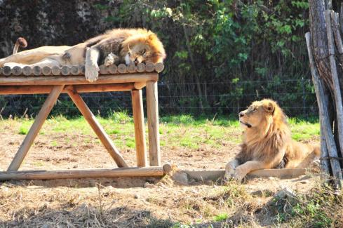 Friday Photo: Lions on a Perfect Weather Day